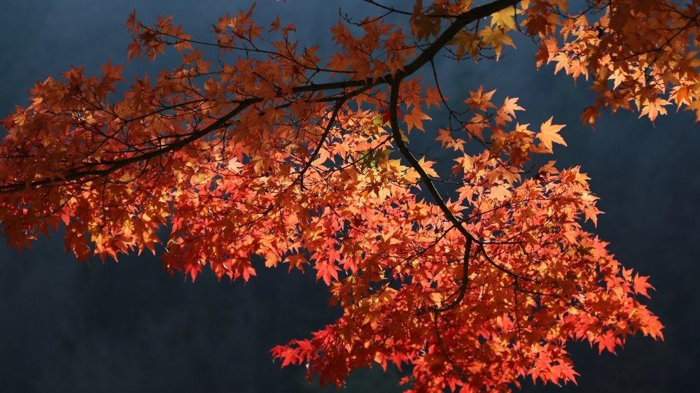 Dimanche, une visite guidée de la forêt japonaise de l'Arboretum, à Aubonne, permettra d'admirer une foule d'espèces arboricoles en tenue d'automne.