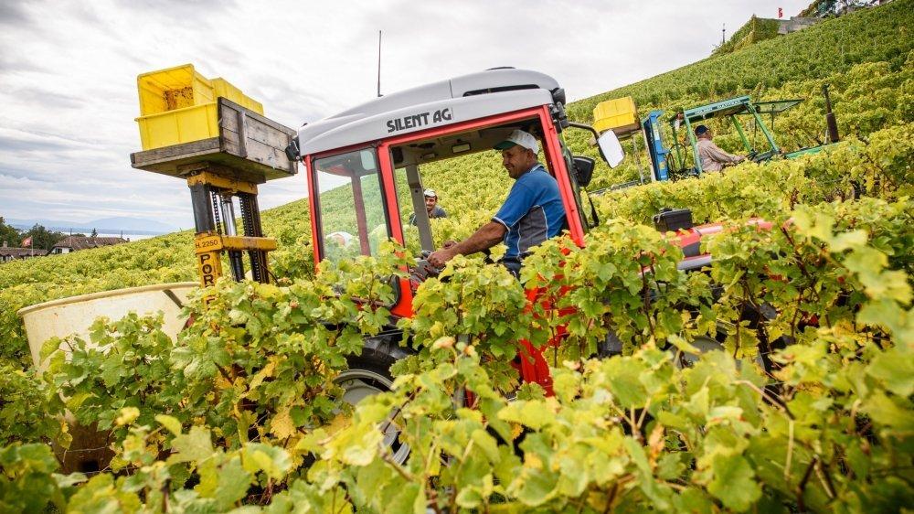 A Féchy, comme partout ailleurs dans les vignobles de La Côte, vignerons et vendangeurs s'activent.