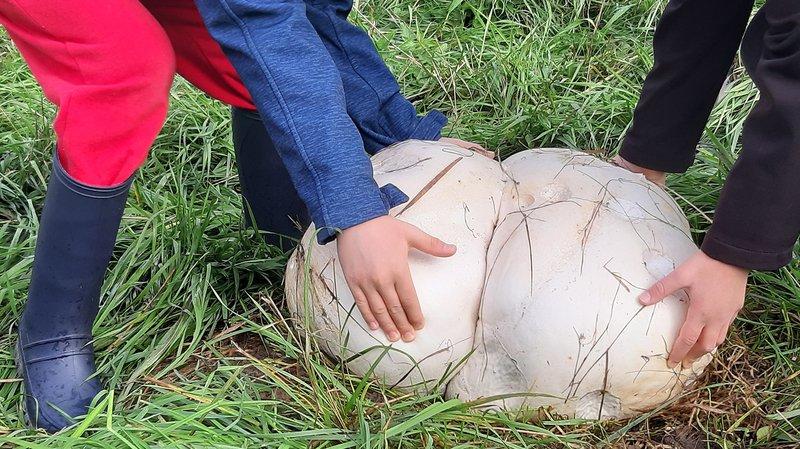 Des champignons hallucinants dans un jardin de Saubraz
