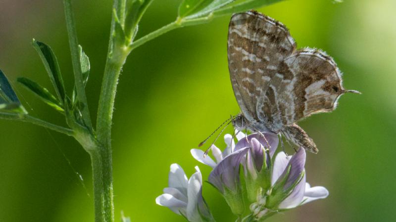 Observé à Prangins, ce papillon peut ravager nos géraniums