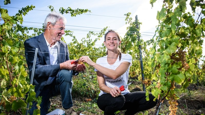 Coup de jeune dans les vignes de La Côte