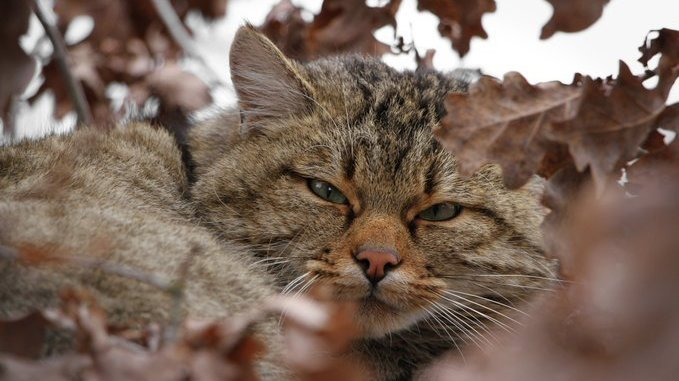 Animaux: le chat sauvage pourrait disparaître du Jura suisse d'ici 200 à 300 ans