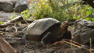 Equateur: 36 tortues des Galapagos réintroduites dans leur habitat naturel