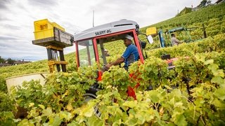 Au temps des vendanges, la gueule de bois des vignerons de La Côte
