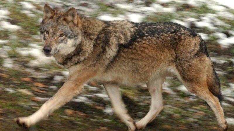 Grands prédateurs: les meutes du Chablais valaisan et du Jura vaudois binationales
