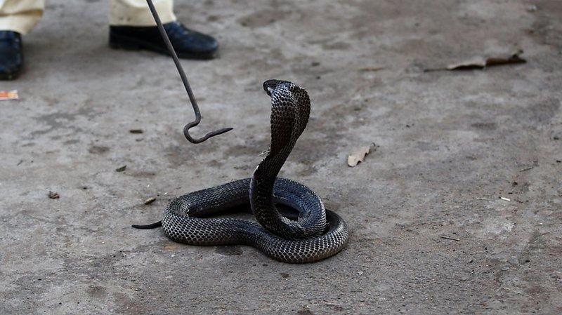 Le venin du cobra indien est essentiellement neurotoxique et cardiotoxique (archives).
