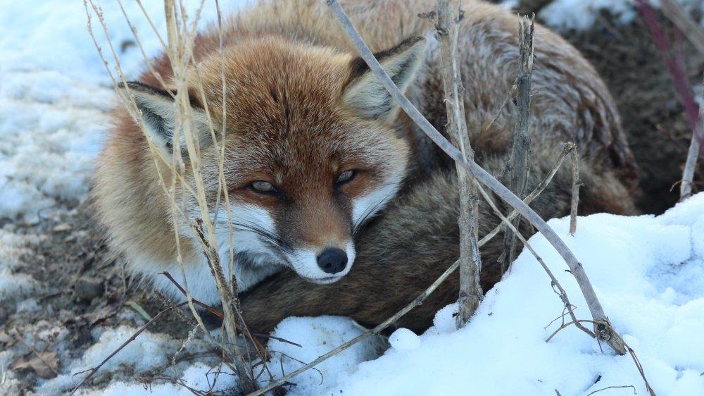 Les traces de renard, sanglier, blaireau ou chevreuil sont plus faciles à voir dans la neige.