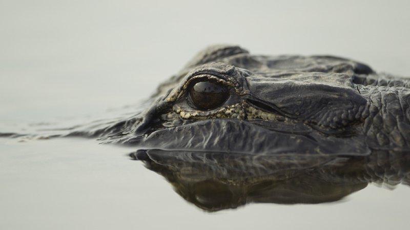 Insolite: l'alligator Saturne qui avait survécu au bombardement de Berlin a été empaillé