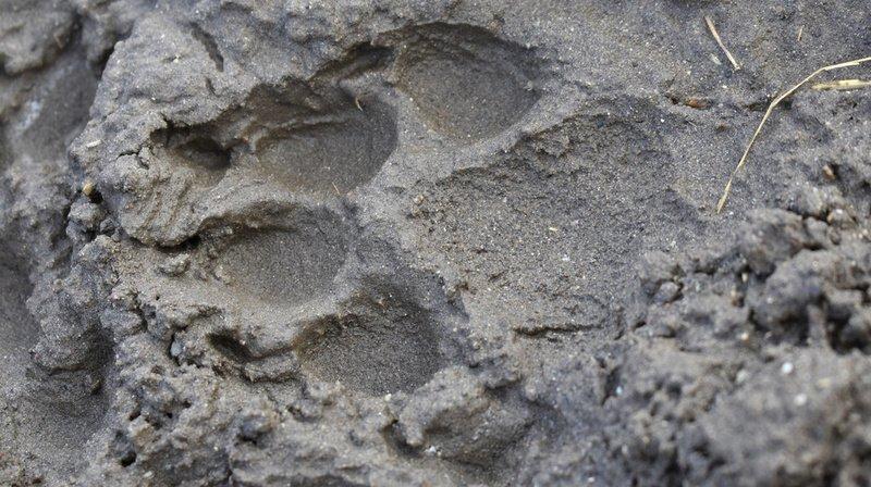 Première meute de loups dans le canton de Glaris