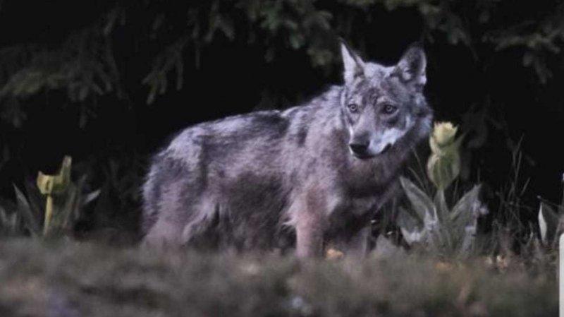 Face au loup, des députés vaudois veulent des mesures plus drastiques