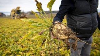 Pesticides: un ravageur met dos à dos les défenseurs de la betterave et ceux des abeilles