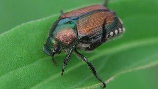 Le scarabée japonais se propage au Tessin