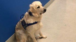 Coronavirus: un chien engagé pour remonter le moral des soignants