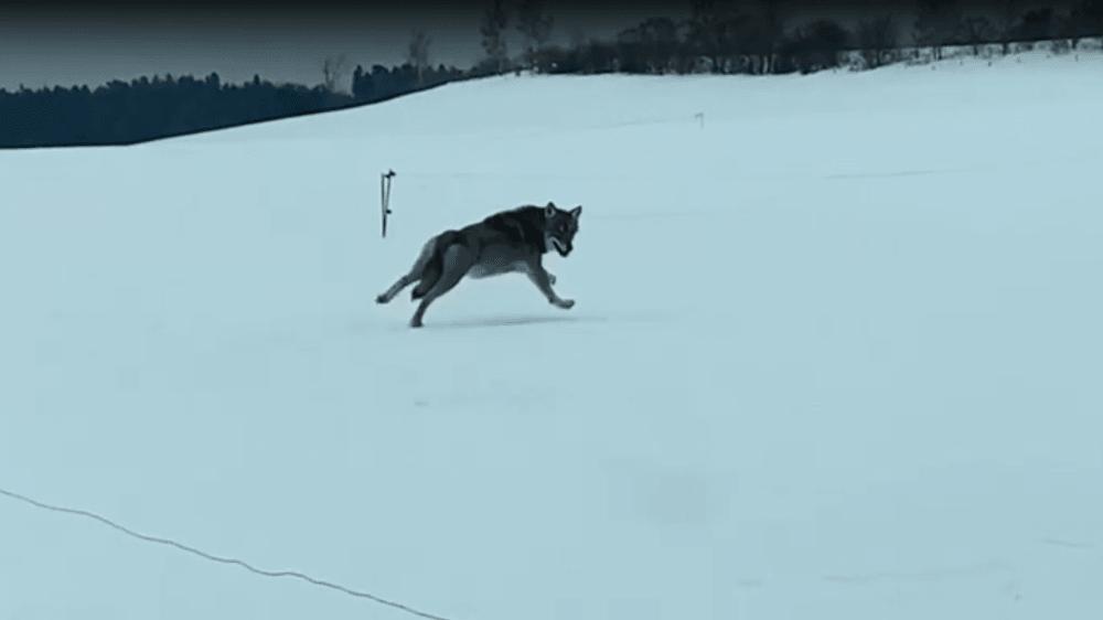 Le loup a couru plus de 45 secondes à côté de la voiture d'un habitant de Longirod.
