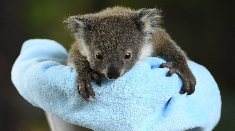 Parmi les nouvelles réjouissantes, celle d'une famille australienne qui a sauvé des milliers d'animaux lors des feux de brousse (illustration).