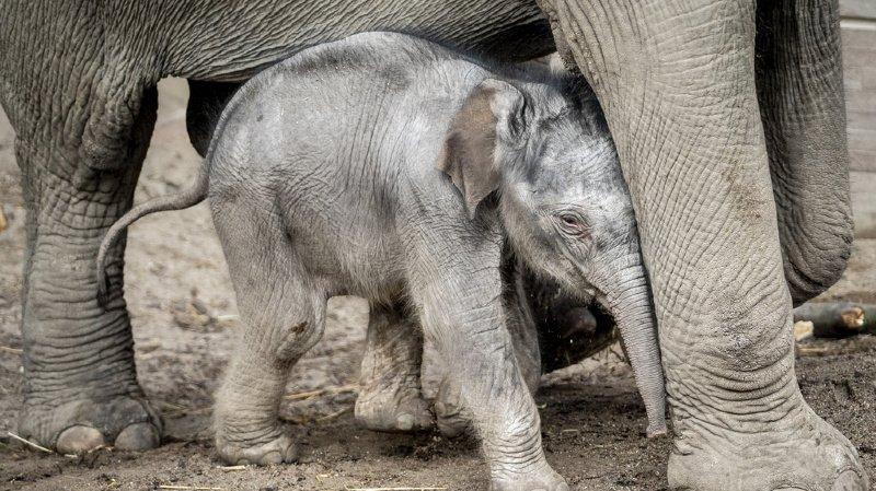 L'éléphanteau a retrouvé sa mère après ce malheureux incident (illustration).