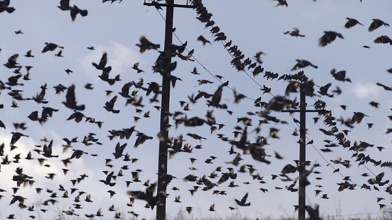La Station ornithologique de Sempach n'a jamais eu autant de travail que cette année (photo symbolique).
