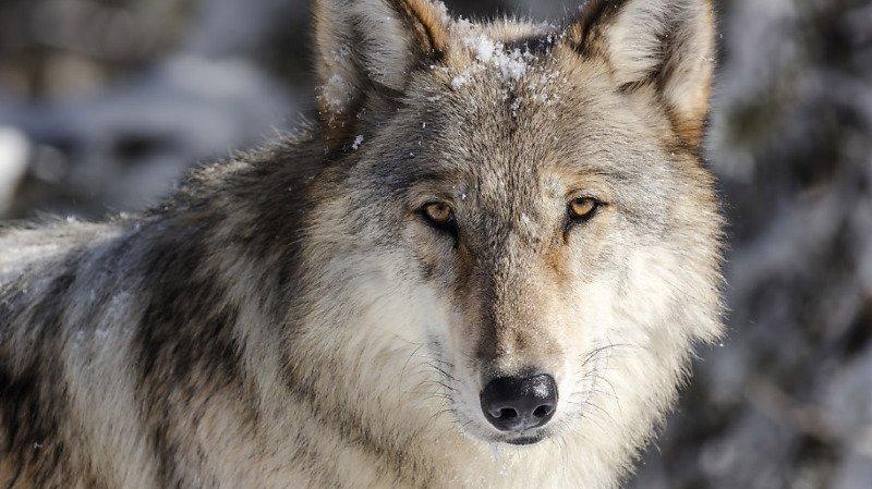 Deux loups happés par un train aux Grisons, l'un d'eux est mort