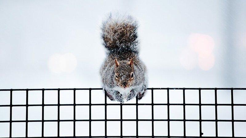 Des résidents d'un quartier de New York se sont plaints de plusieurs attaques d'écureuils ces derniers mois (archives).