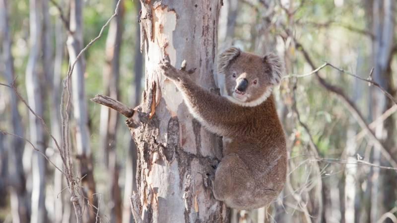 Selon un rapport du WWF, 60 000 koalas ont été tués, blessés ou touchés d'une manière ou d'une autre par les incendies.