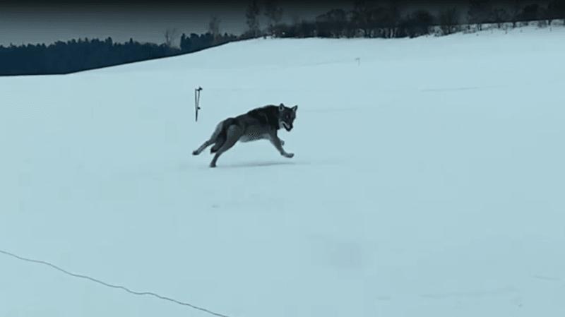 Un loup court à côté de leur voiture sur la route de Gimel