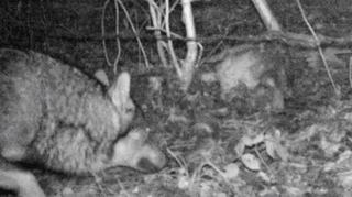 Genève: loup identifié dans le canton pour la première fois depuis 150 ans