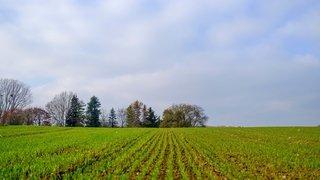 Petit guide pour reconnaître ce qui pousse dans nos champs cet hiver