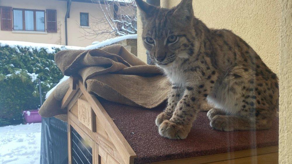 Le lynx perché sur le clapier à Chéserex.