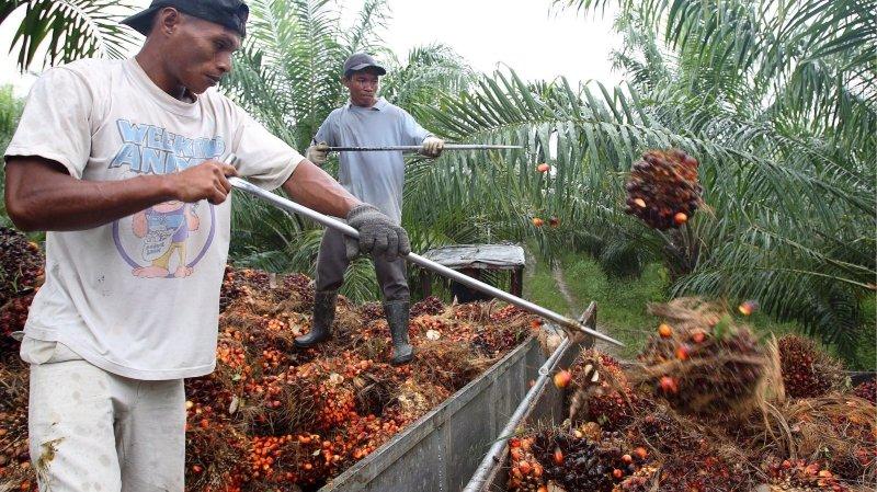 Agriculture: la votation sur l'huile de palme indonésienne met les paysans sous pression