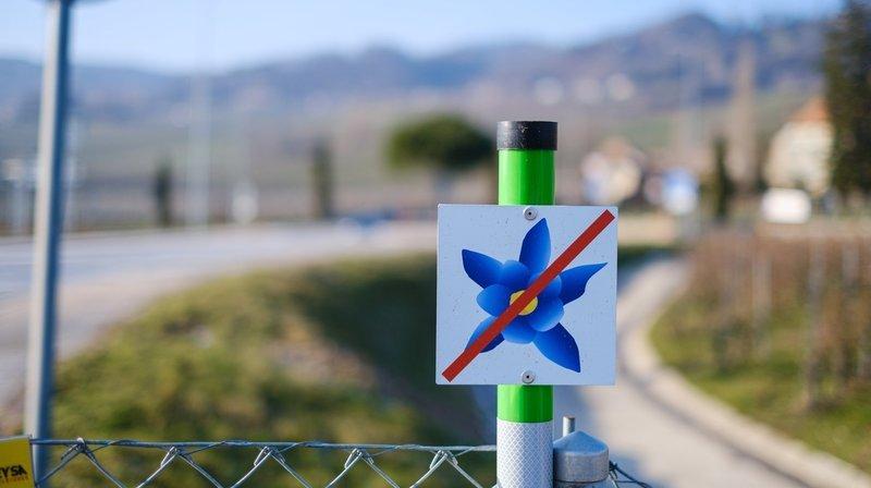 Au bord de l'autoroute, des fleurs bleues essentielles à la biodiversité