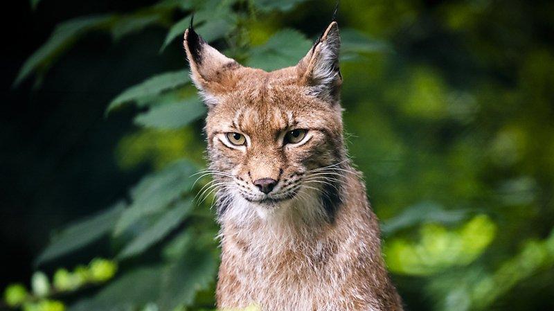 Lynx: récompense de 1000 euros pour retrouver un braconnier