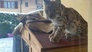Chéserex: elle regarde par la fenêtre et croise le regard d'un jeune lynx