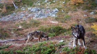 Grands prédateurs: pourquoi le loup est de nouveau visé au parlement