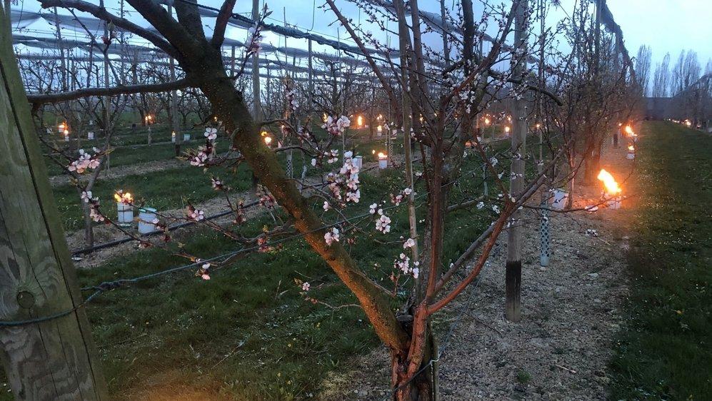 Des dizaines de grosses bougies ont brûlé dans les vergers du domaine de Trembley à Commugny la nuit dernière, afin d'atténuer les dangers liés au gel sur des fruits à l'état embryonnaire.