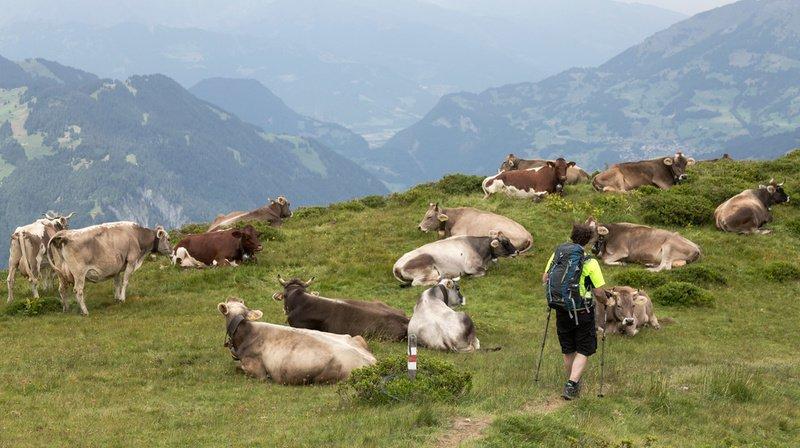 Randonnée: que faire lorsque vous vous approchez de vaches et de veaux