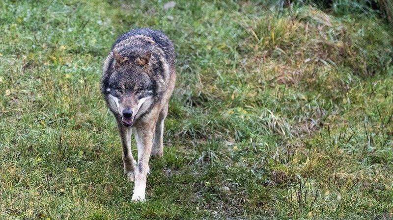 Attaques du loup au Marchairuz: un huitième veau tué