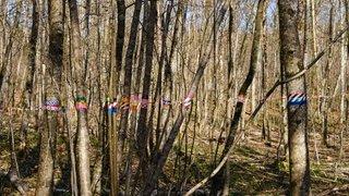 Trélex: que signifient ces rubans sur les arbres?