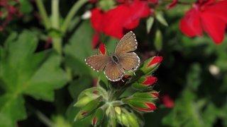 Que faire contre le papillon tueur de géraniums?