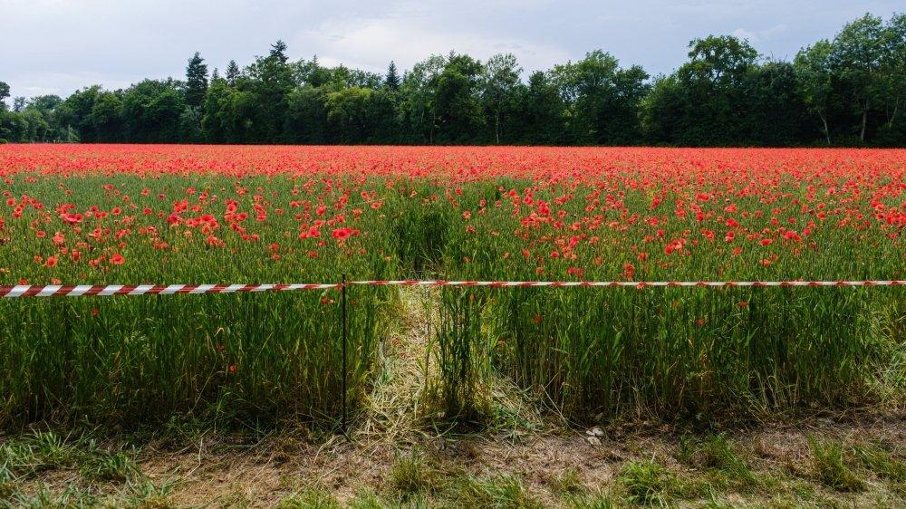 A Gland, un champ de blé des Baumgartner a été piétiné par des gens qui se prenaient en photo au milieu des coquelicots.