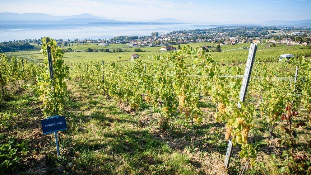 Actuellement, seul 4% du vignoble suisse bénéficie du label bio, mais 90% des surfaces viticoles vaudoises sont cultivées selon les normes, plus strictes qu'à l'étranger, de la production intégrée.
