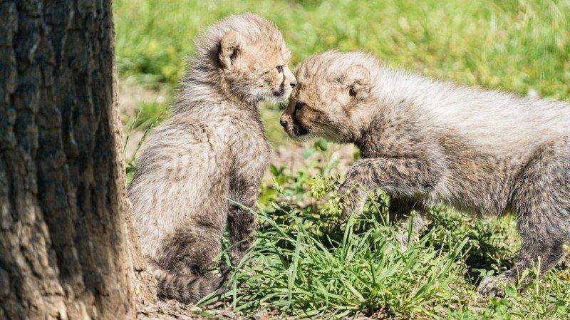 Naissance de deux guépards au zoo de Bâle