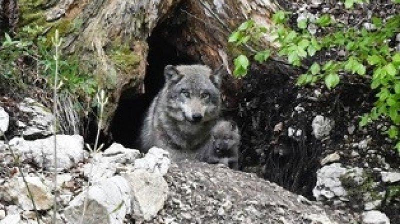 Un louveteau est venu agrandir la famille de Juraparc.