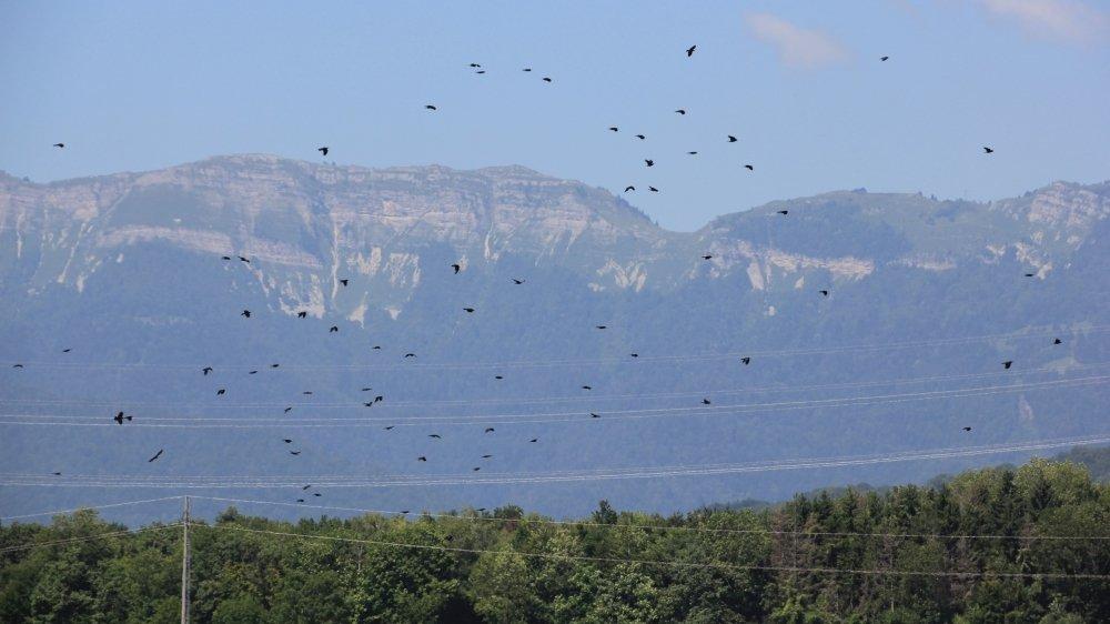 Les corbeaux et les corneilles s'attaquent aux jeunes plants et semences. Mais aussi aux fruits comme les pêches, les abricots et les cerises.