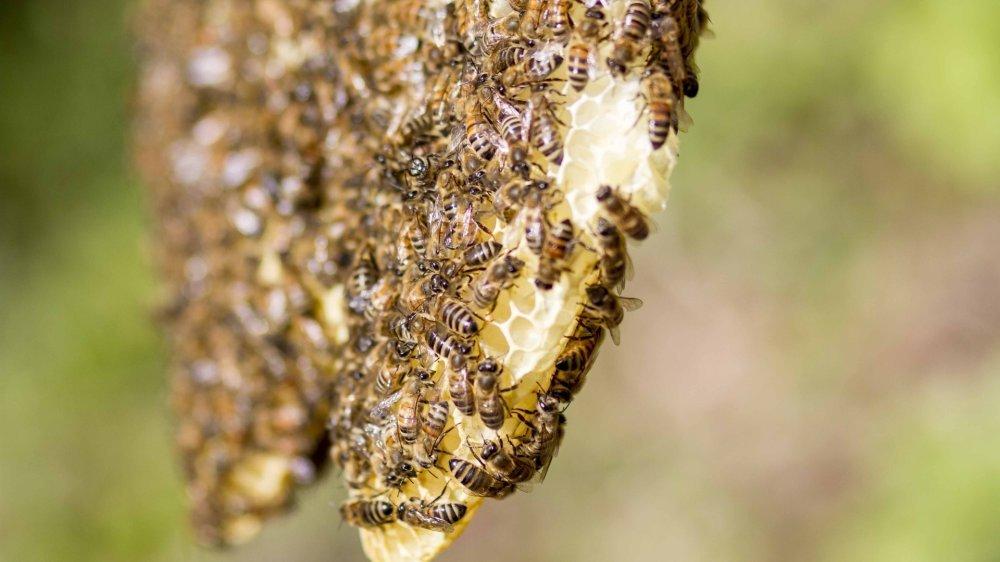 Les abeilles ont tendance à défendre leur territoire.