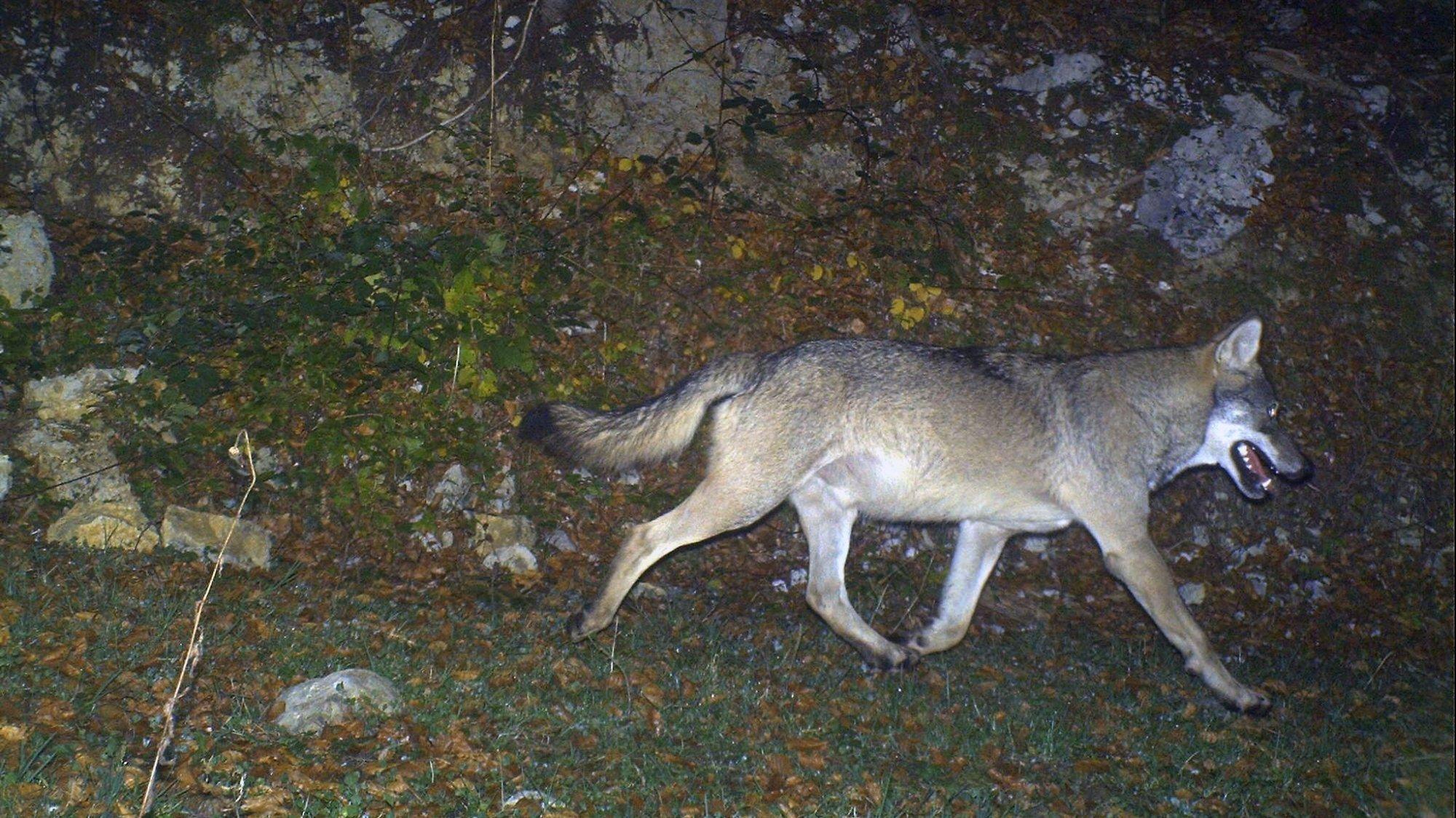 Depuis quelques années, le loup est revenu dans le Jura vaudois, notamment à la Dôle, comme sur cette photo.