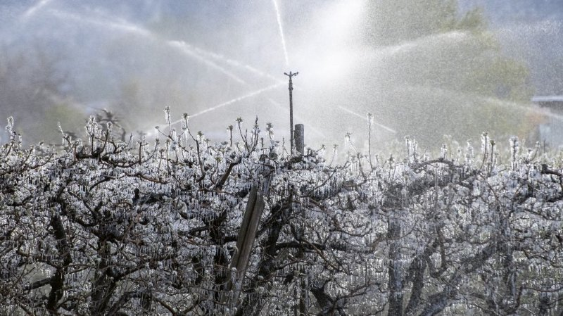 Abricots: des étudiants de l'Université de Lausanne veulent utiliser la génétique pour lutter contre le gel