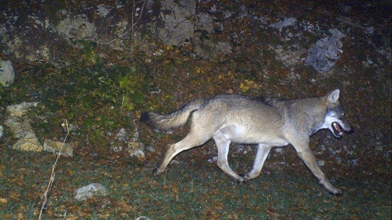 Vaud: le canton veut tuer deux loups du Marchairuz