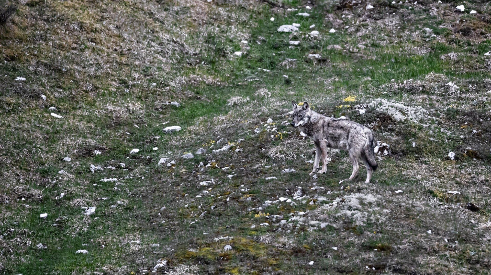Jura vaudois: quelles solutions pour cohabiter avec le loup?