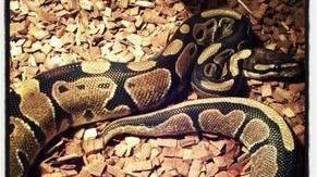 Un python est porté disparu dans un quartier résidentiel de Morges