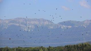 Face aux corbeaux, l'impuissance des producteurs locaux
